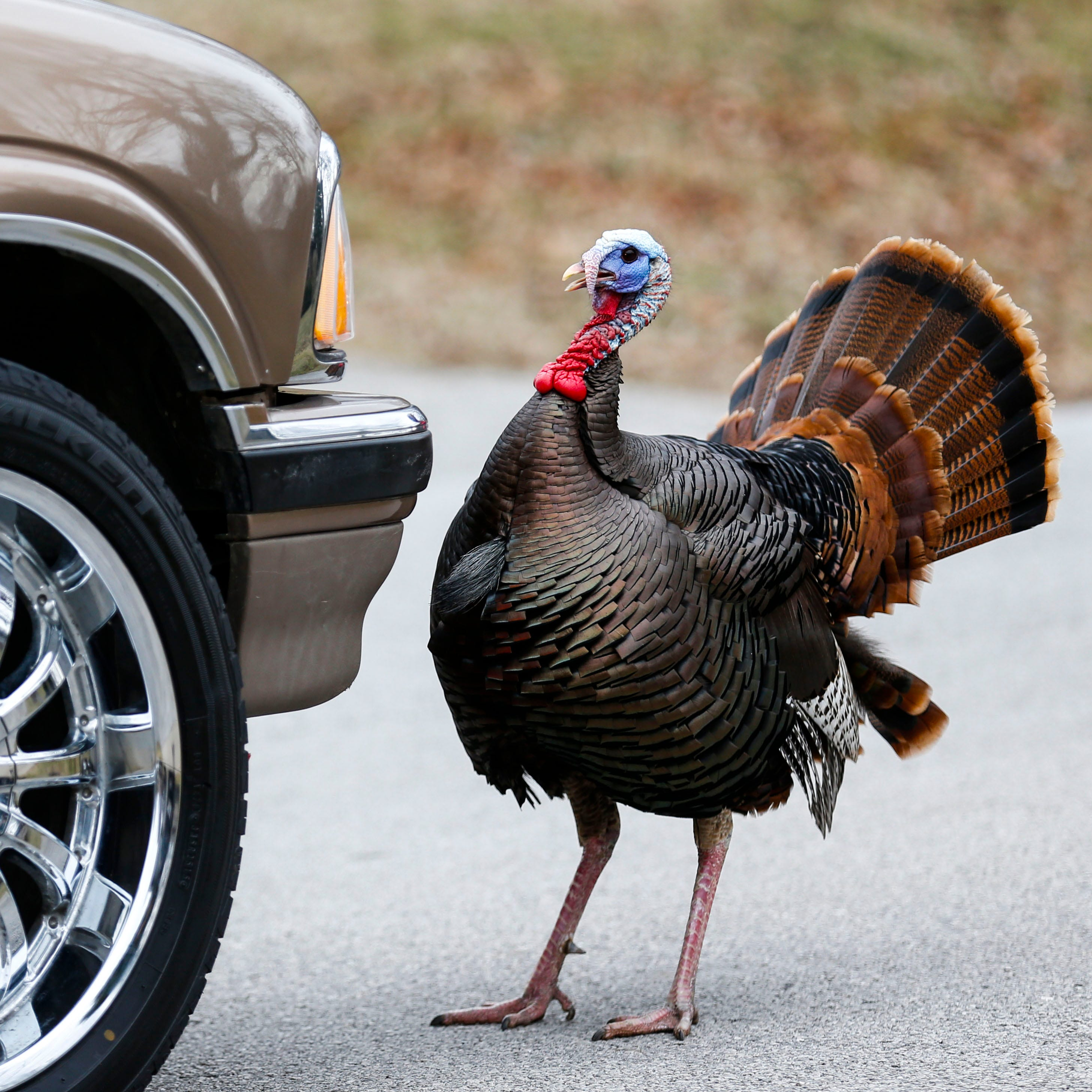 Turkey plays chicken with cars in Springfield neighborhood