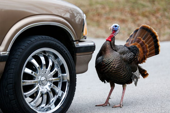 Un pavo salvaje llamado Richard por los vecinos juega a la gallina con una camioneta el martes 19 de febrero de 2019 en South Springfield.