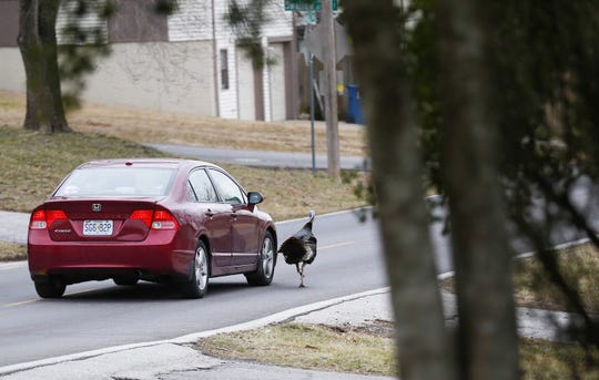 A wild turkey, that has been named Richard by neighbors, chases after a car as it drives on South Harvard Avenue in south Springfield on Tuesday, Feb. 19, 2019.