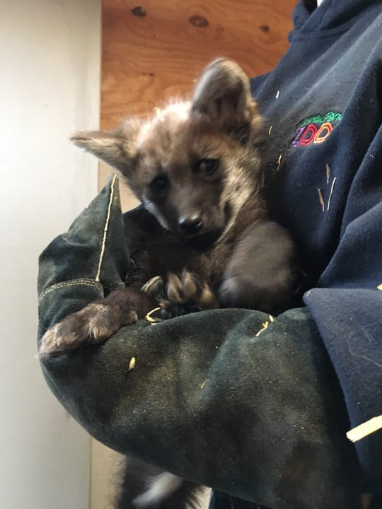 A six-week-old wolf cub is examined at Dickerson Park Zoo.