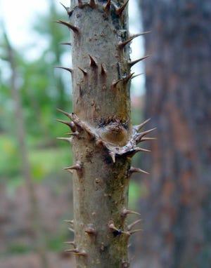 Devil's walkingstick trunk displays rings of spines.