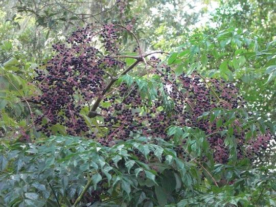Devil's walkingstick berries provide food for wildlife.