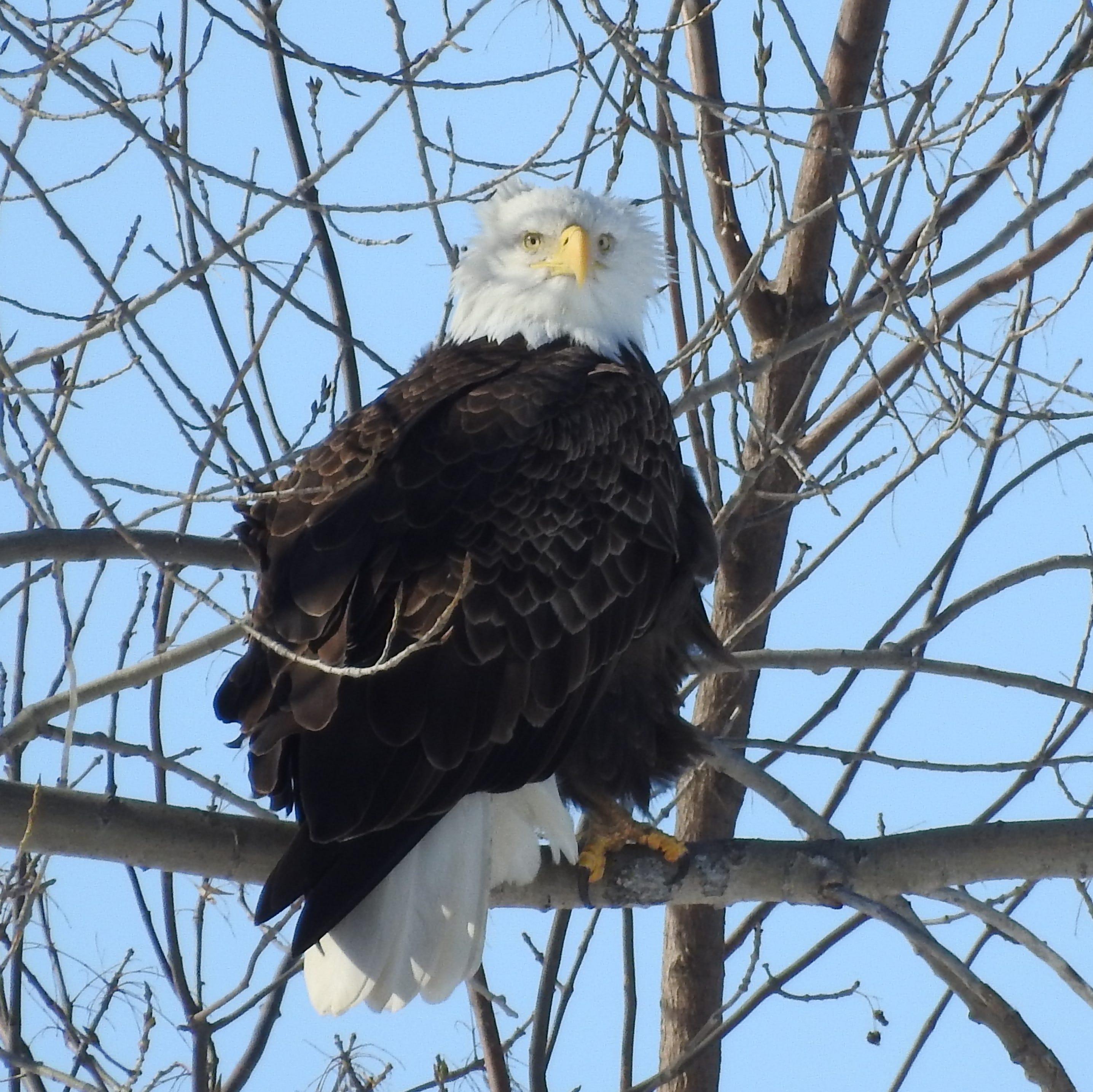Bald eagle spotted in Murfreesboro near Stones River