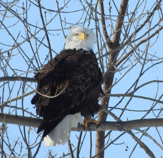 American Bald Eagle, always an amazing site to see such as this adult sunning itself.