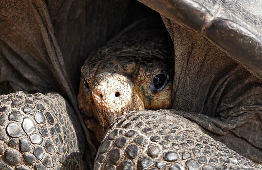 A specimen of the giant Galapagos tortoise Chelonoidis phantasticus, thought to have gone extint about a century ago, is seen at the Galapagos National Park on Santa Cruz Island in the Galapagos Archipelago.