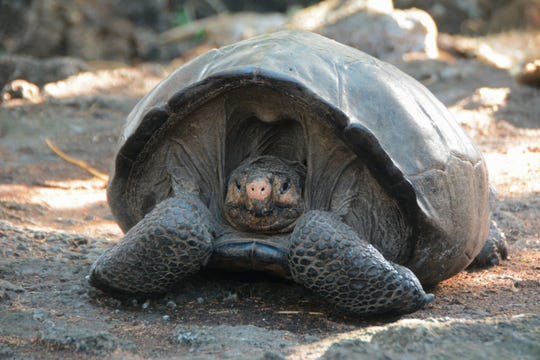 This photo release by the Galapagos National Park, shows a Chelonoidis phantasticus tortoise at the Galapagos National Park in Santa Cruz Island, Galapagos Islands, Ecuador, Wednesday, Feb. 20, 2019. Park rangers and the Galapagos Conservancy found the tortoise, a species that was thought to have become extinct one hundred years ago.