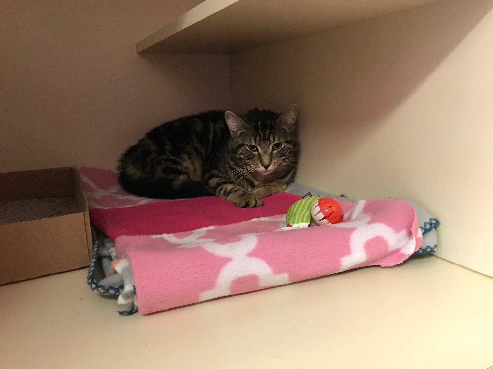 Lovergirl is a 9-month-old brown tabby. She can be adopted at New Beginnings Animal Shelter in East Brunswick.