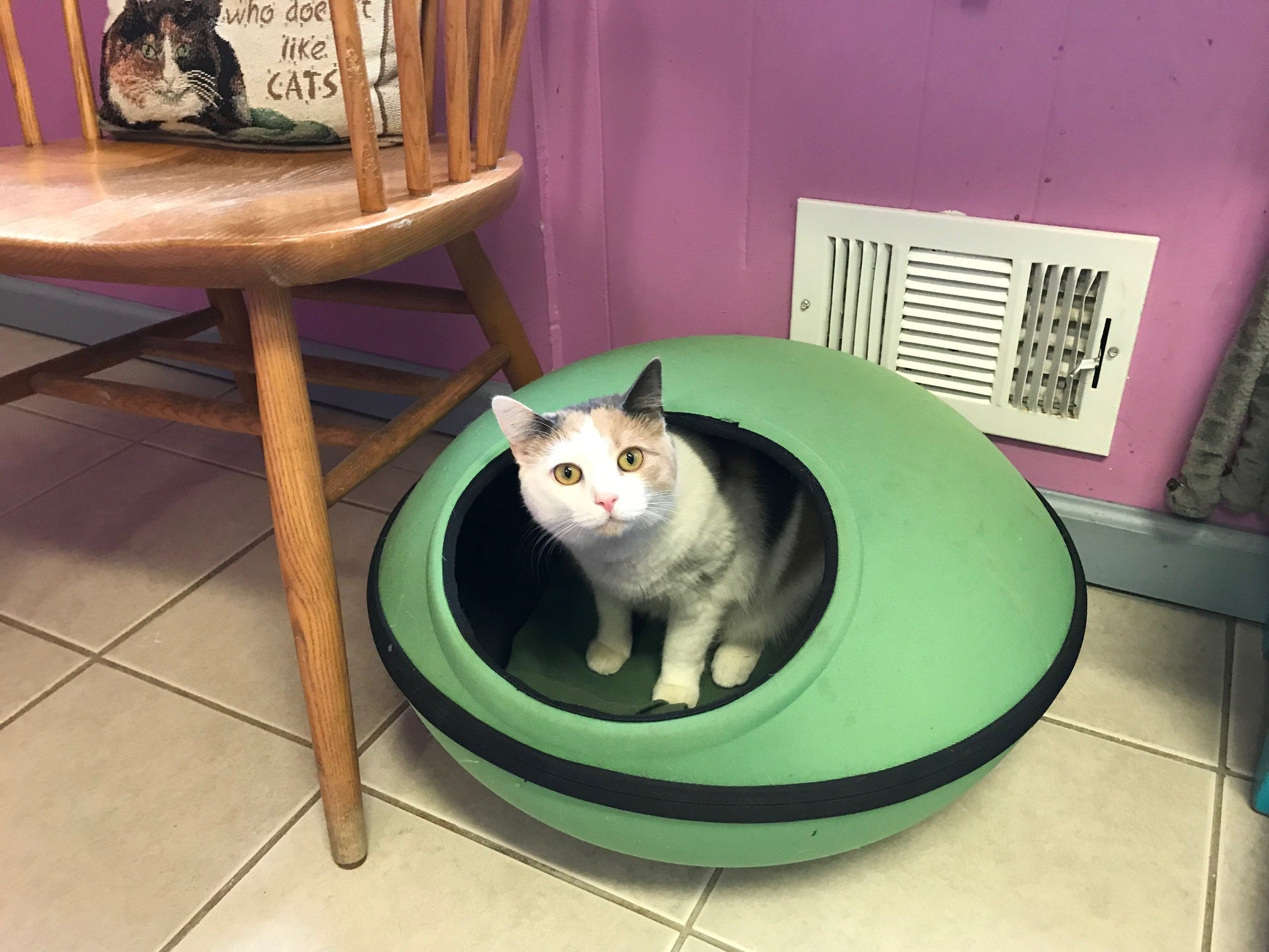 Lizzie, a 9-month-old dilute calico, is among the cats and dogs up for adoption at New Beginnings Animal Rescue in East Brunswick, which is closing its doors.