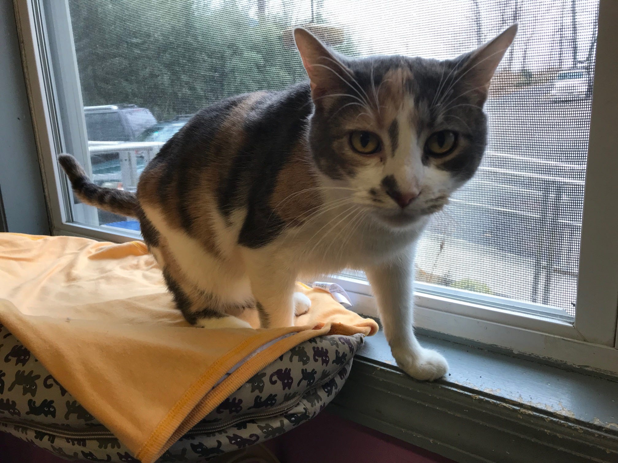 Lady, 2, is a dilute calico, who can be adopted at New Beginnings Animal Rescue in East Brunswick.