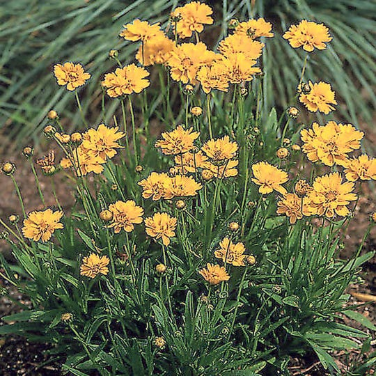 Coreopsis grandiflora 'Early Sunrise' --  Coreopsis is easy to grow, making it a good choice for beginners. One plant will provide you with long-lasting cut flower bouquets all summer long.