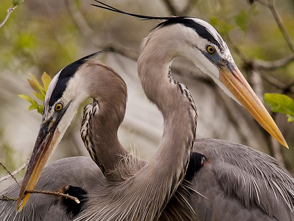 A pair of great blue herons are building a nest at Six Mile Cypress Slough within eye shot of the boardwalk. They have yet to lay eggs but can be seen flying through the swamp in search of nesting material.