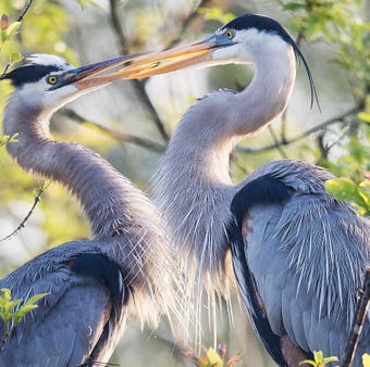 Great blue herons put on a show while building a nest at the Six Mile Cypress Slough.