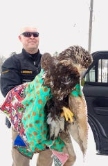Cascade County deputy sheriff Jay Groskreutz assisted a distressed golden eagle on Thursday.