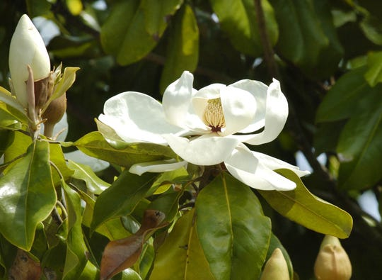 This file photo shows magnolias blooming at the Nature Science Museum in Mississippi.
