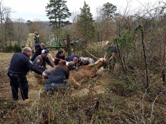 Personnel from Knoxville Volunteer Rescue Squad, Rural Metro Fire and UT College of Veterinary Medicine worked together to rescue a horse from a hole Thursday off Tazewell Pike.
