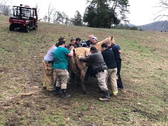 The horse was not trapped or stuck but weak. With assistance, it could stand and walk back to the barn.