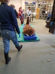 Earl the llama was treated for gunshot wounds at LSU's Large Animal Clinic.