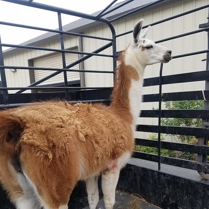 Earl the llama recovering from gunshot wounds