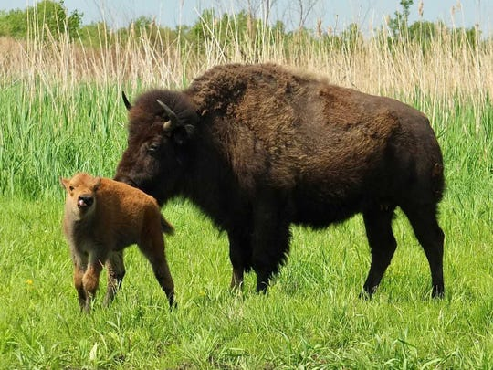 A new member joins the bison herd last year at The Nature Conservancy's Kankakee Sands prairie in Newton County Indiana.