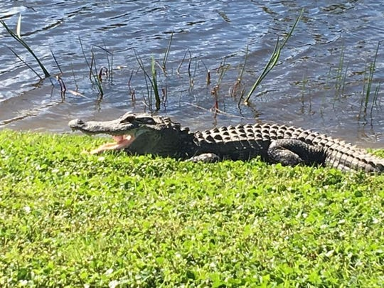 A Bonita Springs golfer earned a free drop ball after a local alligator snatched her ball from the air.