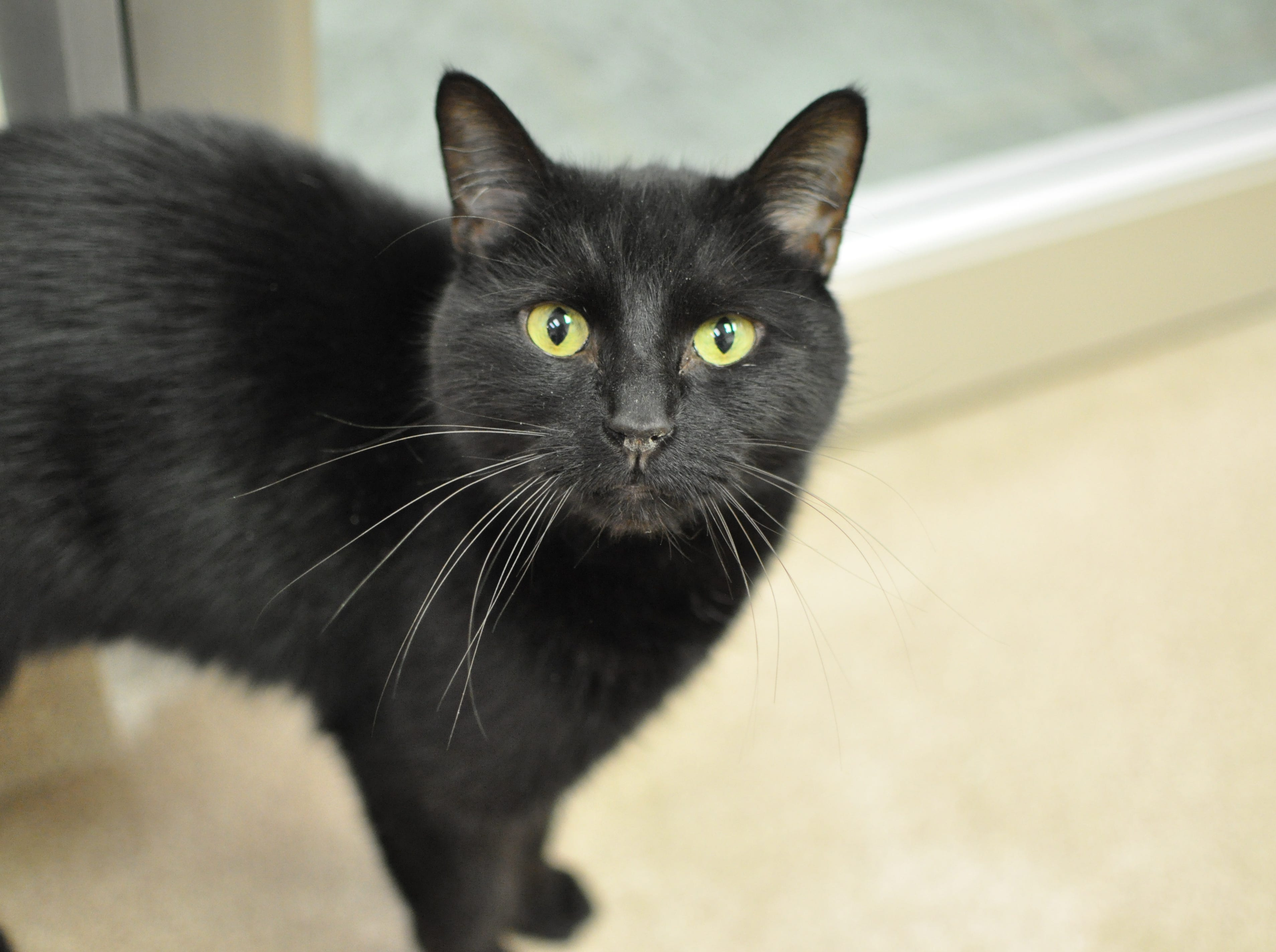 Lucky, 7, is hoping to find his forever home. He is neutered and declawed.