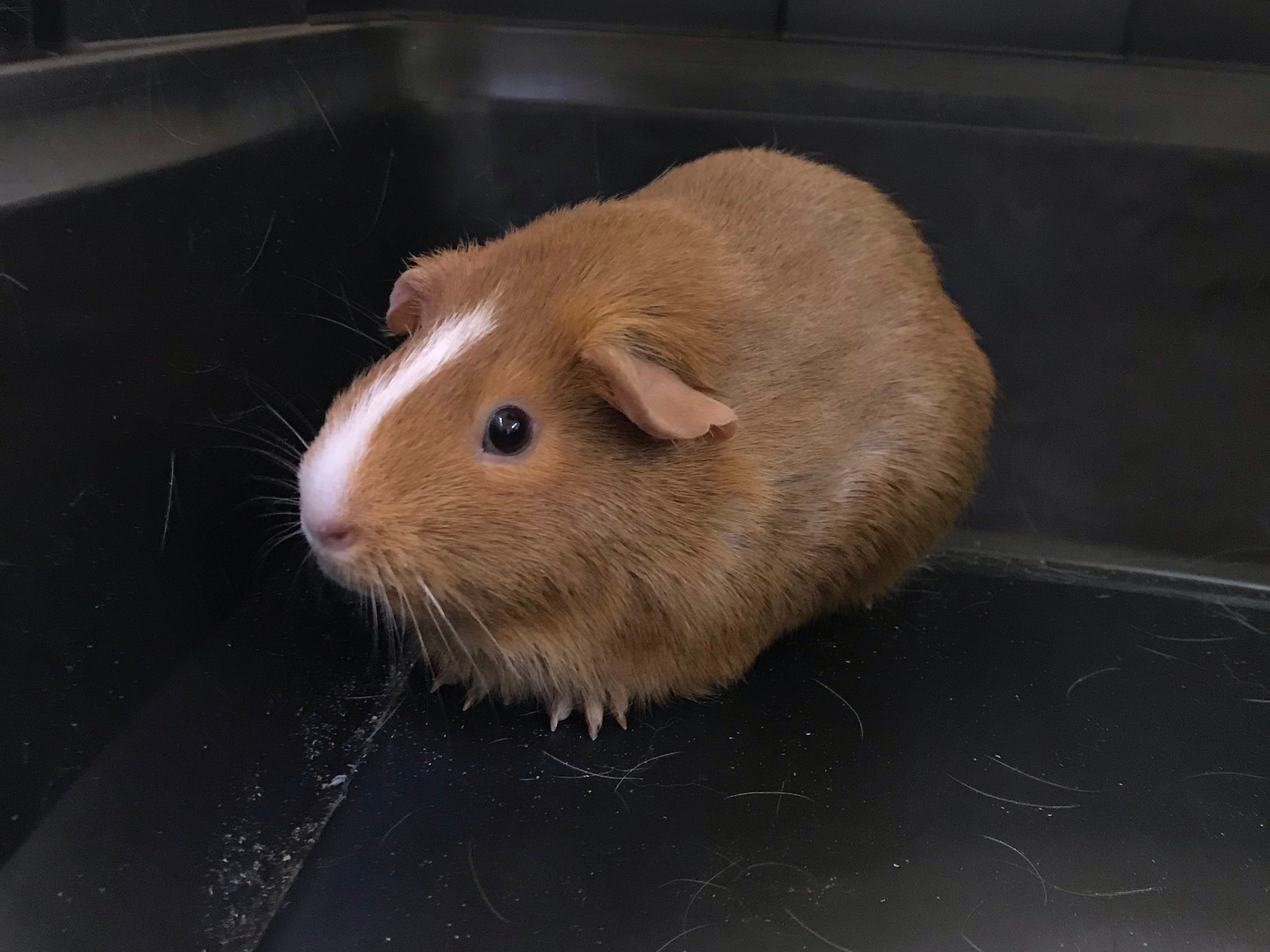 A 1-year-old Guinea Pig, Latte loves cilantro and carrots. She wants a home with her sister, Mocha.