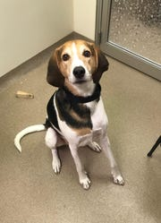 Jax, a 3-year-old mixed breed, is nice and loves walks and playing outside. he is neutered.