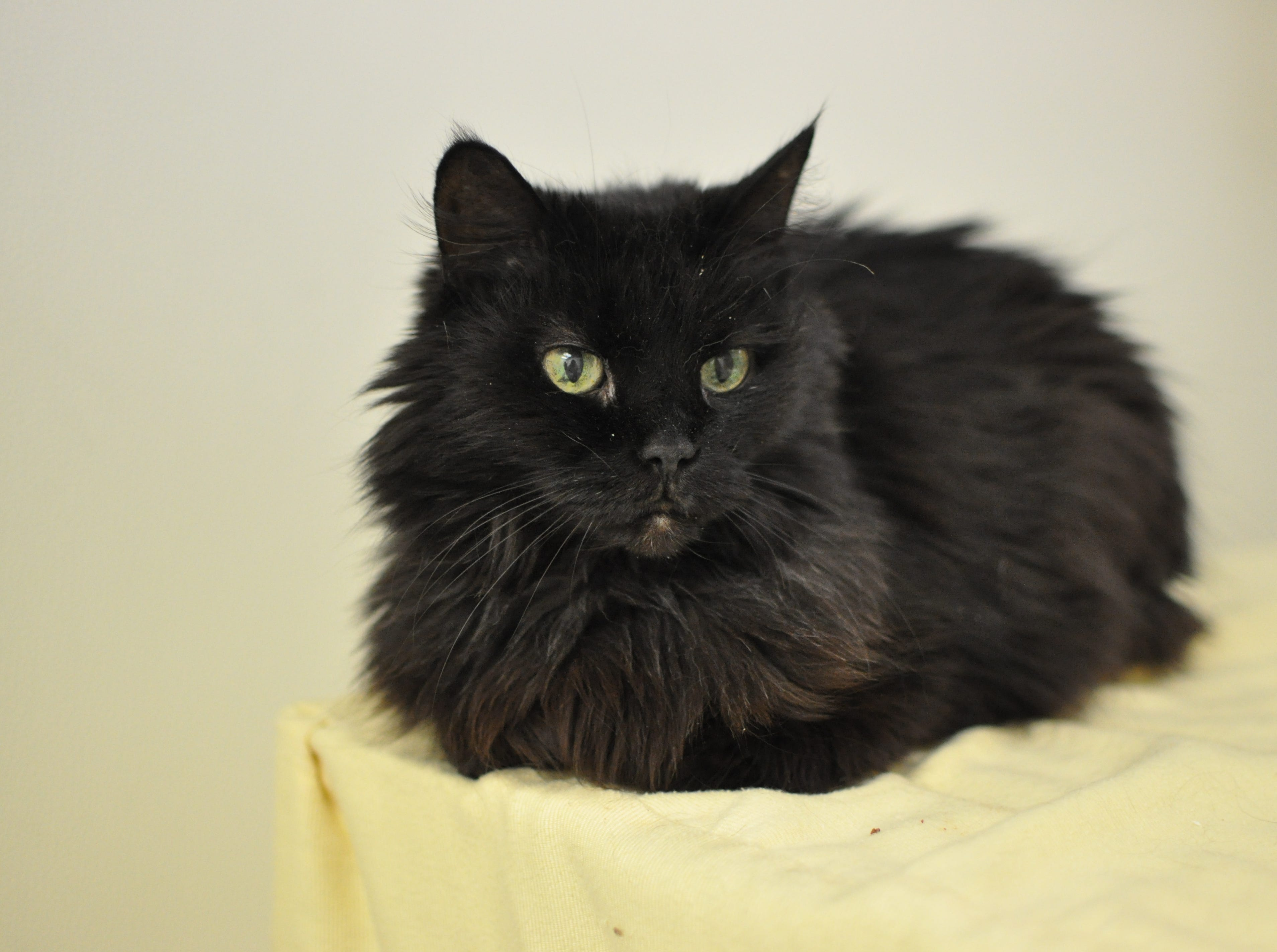 An affectionate 10-year-old, Sabrina is a bit lazy and loves to lounge. She is spayed and declawed.