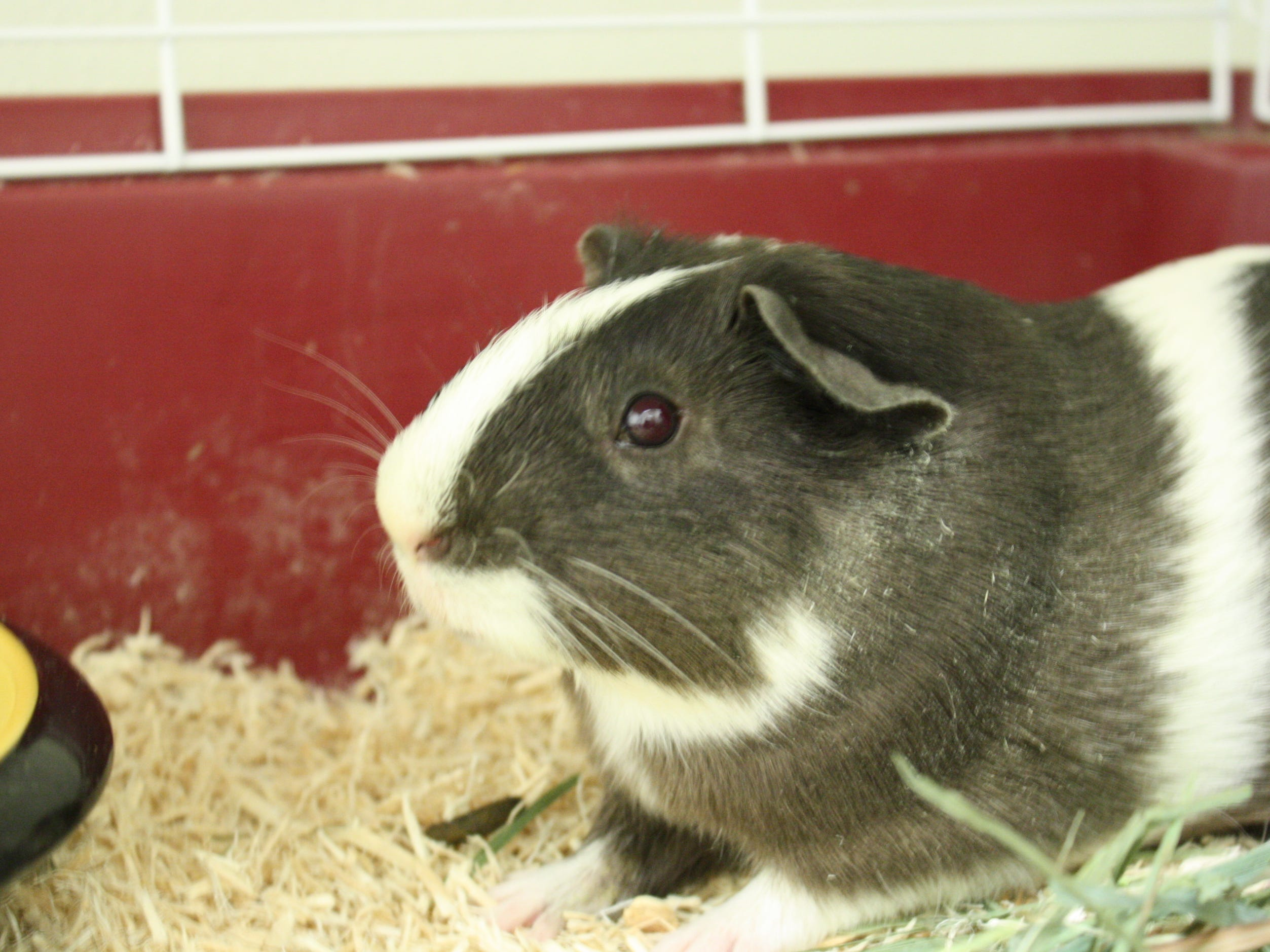 Graham Cracker, a 5-month-old Guinea Pig, is outgoing and would like a home with a buddy.