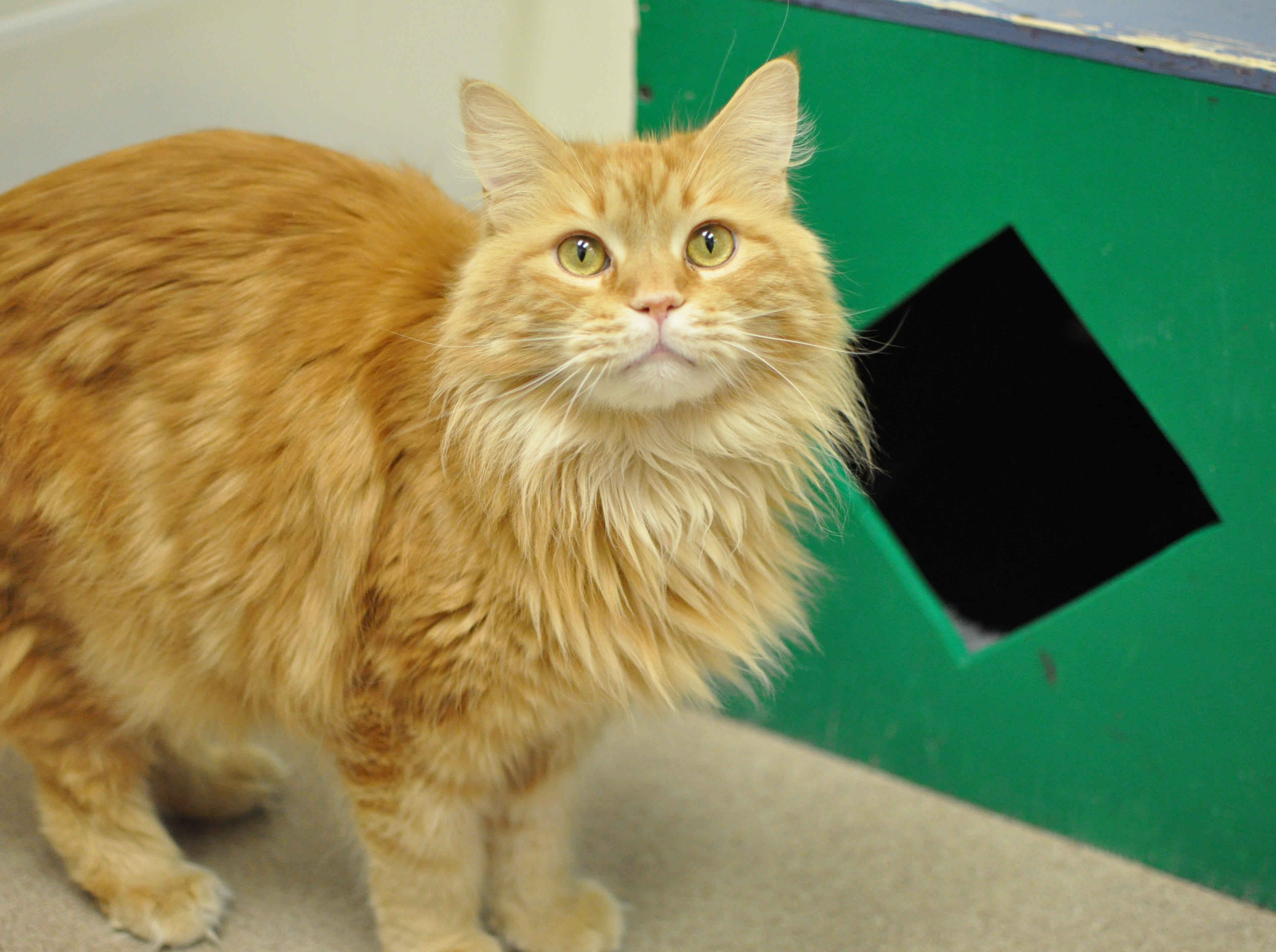 Leo, 5, is very talkative. He is neutered.