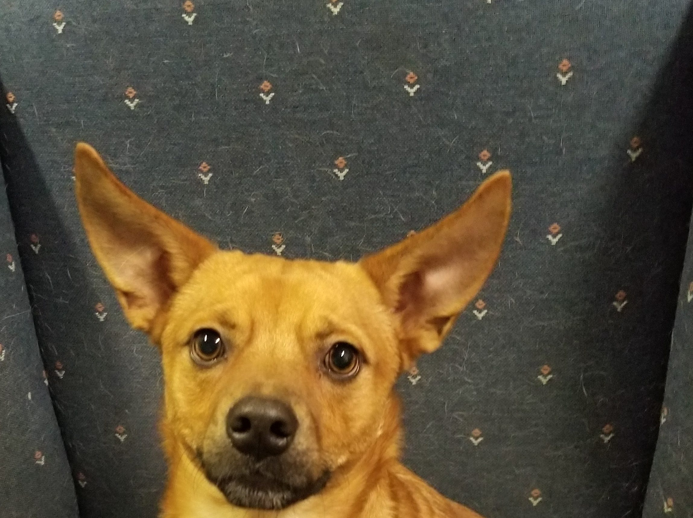 A 2-year-old mixed breed, Captain Crunch is silly and lovable. He is neutered.