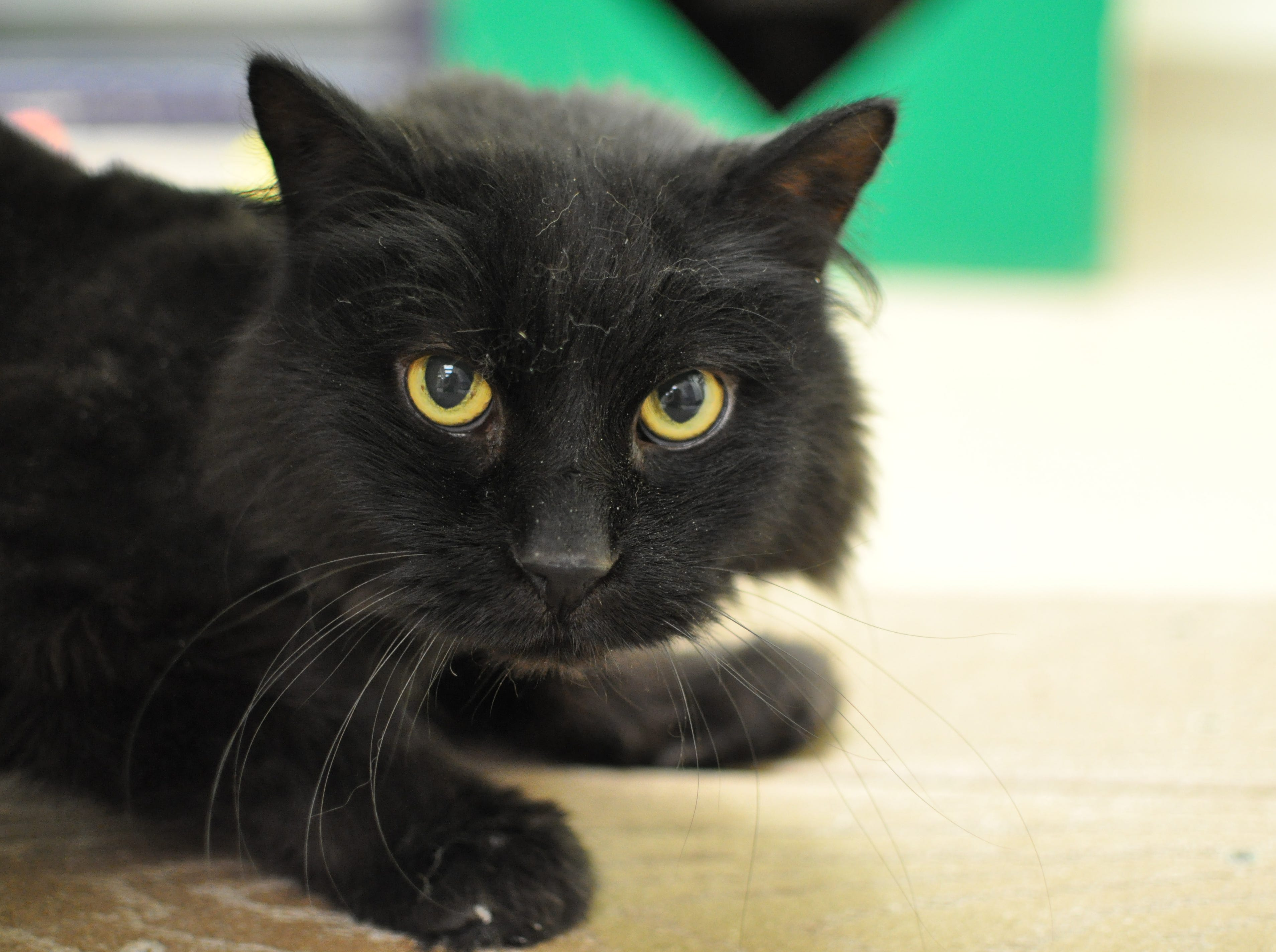 A relaxed 14-year-old, Ozzy loves to snuggle and lay in laps. He is neutered.
