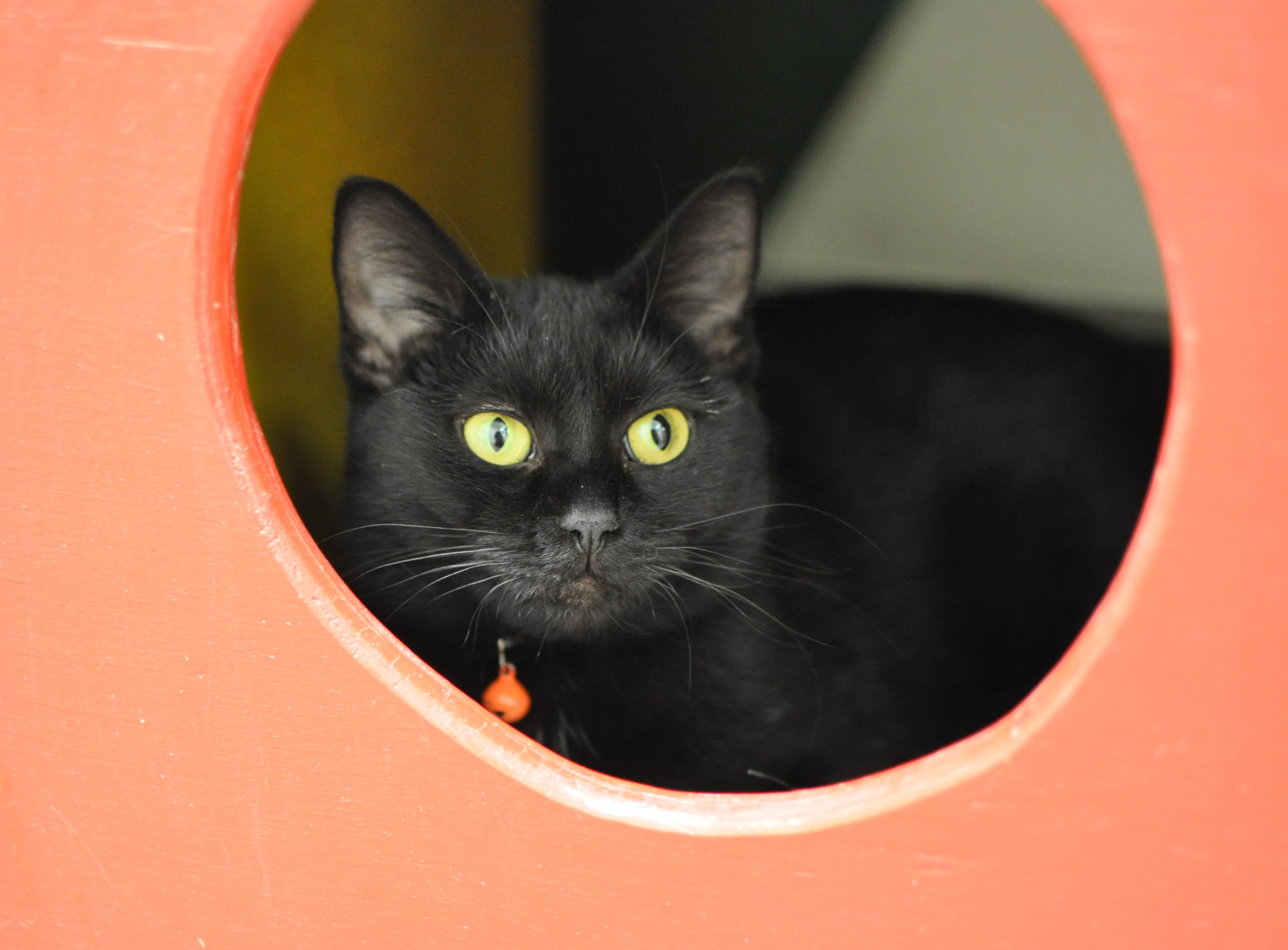 Chicklet, 1, is a sweetheart who loves to be held. She is spayed.