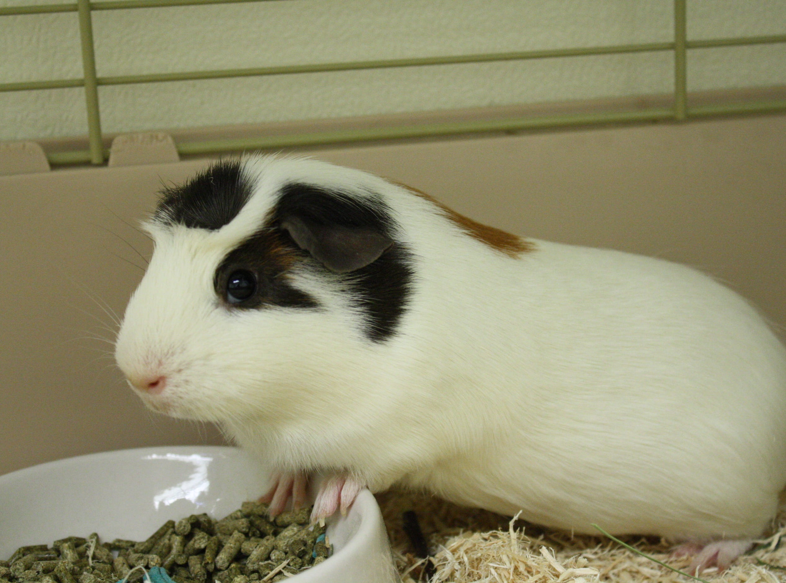 Nugget, a 10-month-old Guinea Pig, is shy and sweet and would love a home with a buddy.