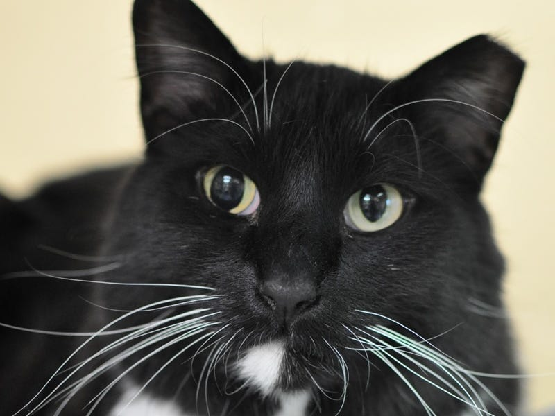 A cautious 4-year-old, Fuzzy loves belly rubs and head scratches. He is neutered.