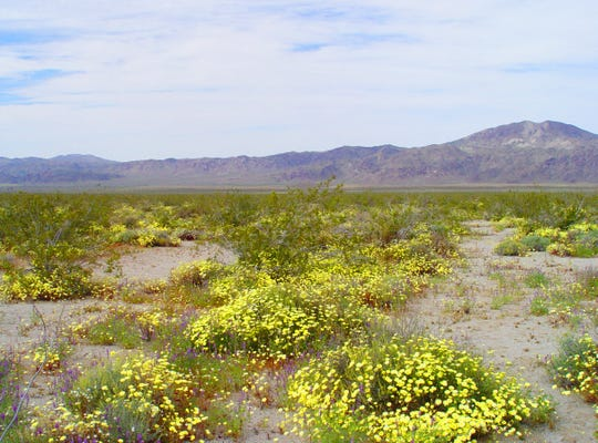 The enormous Pinto Basin is dominated by yellow in heavy rain years as annual desert dandelion reaches full bloom for miles on end.