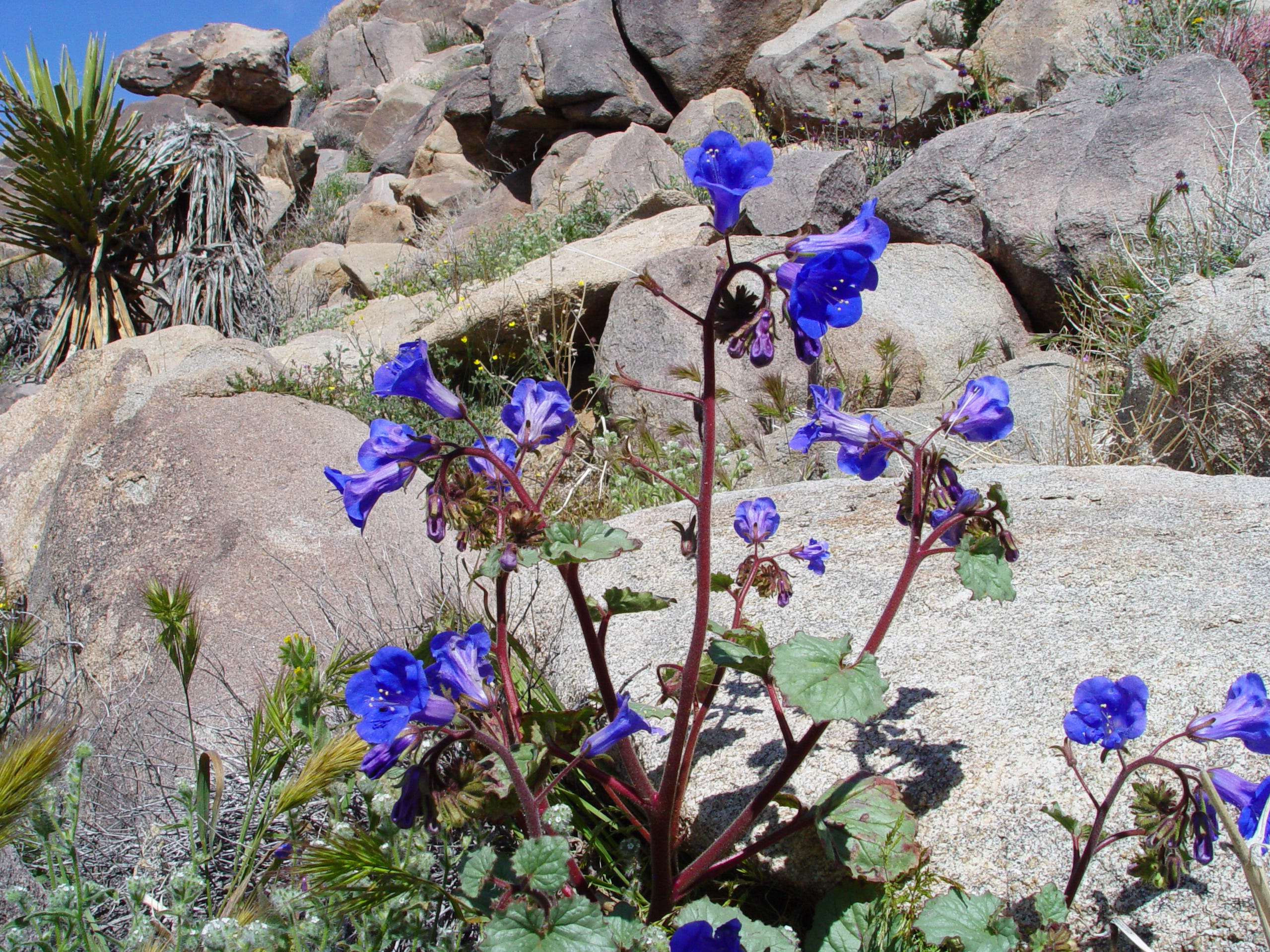 These are Desert Canterbury Bells   (Phacelia campanularia). You'll find this queen of the wildflowers growing in the side canyons where it is protected by rocks or deep within a dry wash where it's below grade to stay protected.
