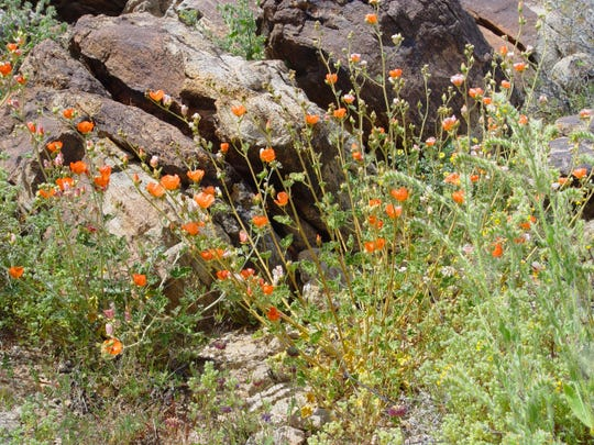 Orange cups of shrubby desert mallow are a real stand out on rocky hillsides. Its pink flowered cousin, Sphaeralcea ambigua var rosacea, can be found along trailside in the Indian Canyons.