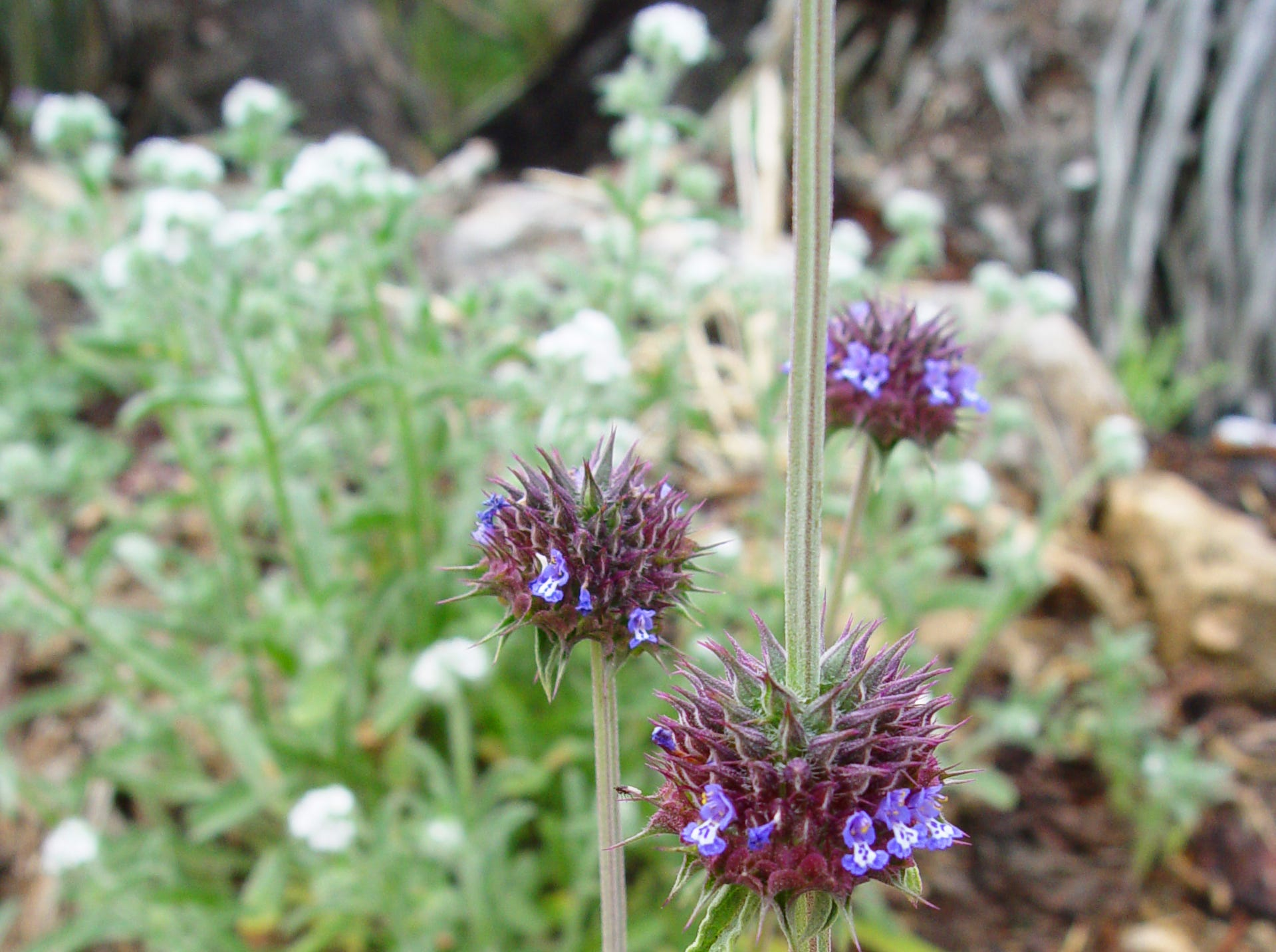 Chia (Salvia columbarie) is an early flower with flat foliage and its upright stems and whorls of purple-blue flowers that produce valuable seed for local tribes.