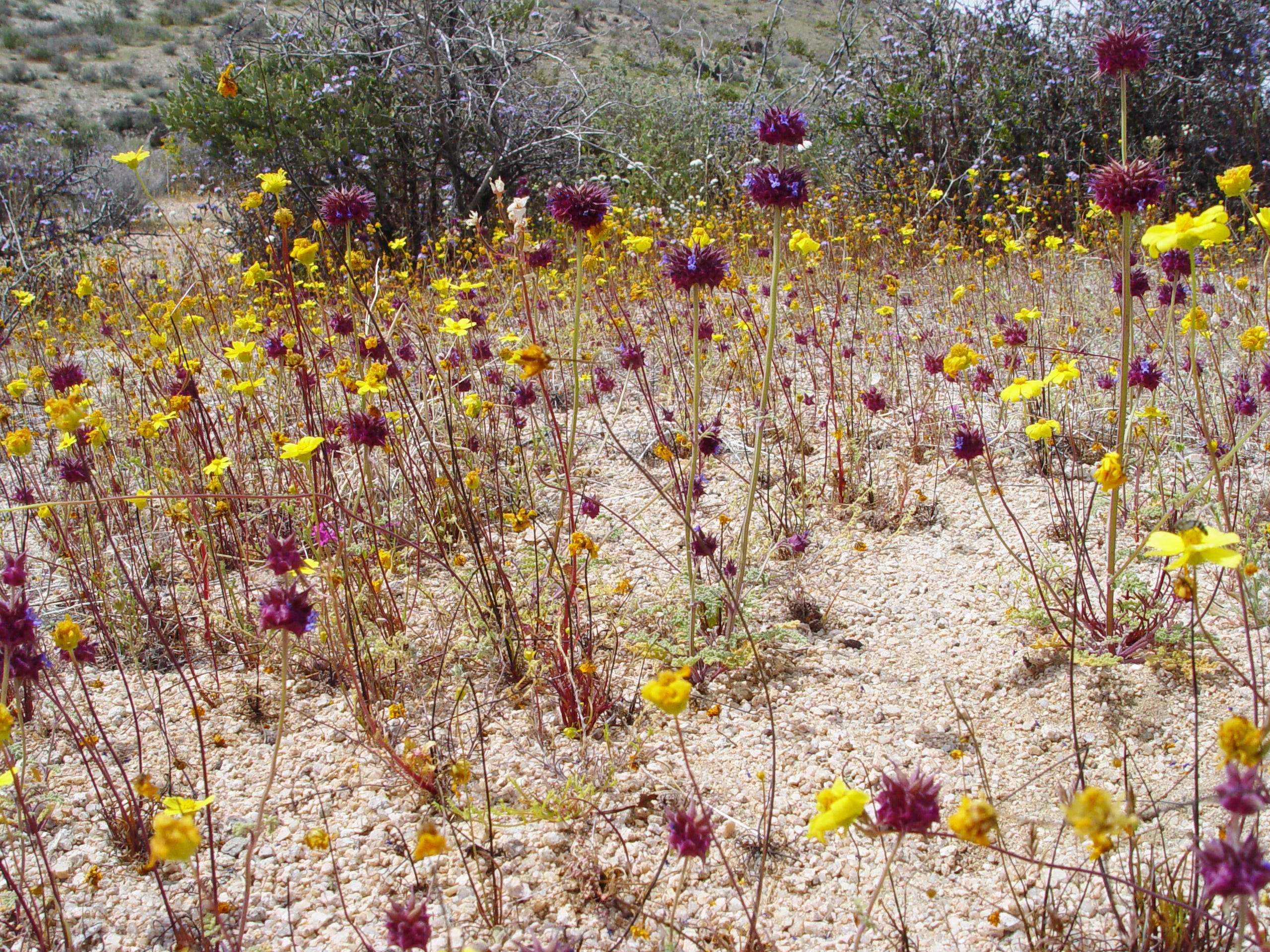 These unusual annual coreopsis blend with chia in a sandy dry wash with no disturbance after a heavy rain year.  Seed probably washed in with flood and produced such density.