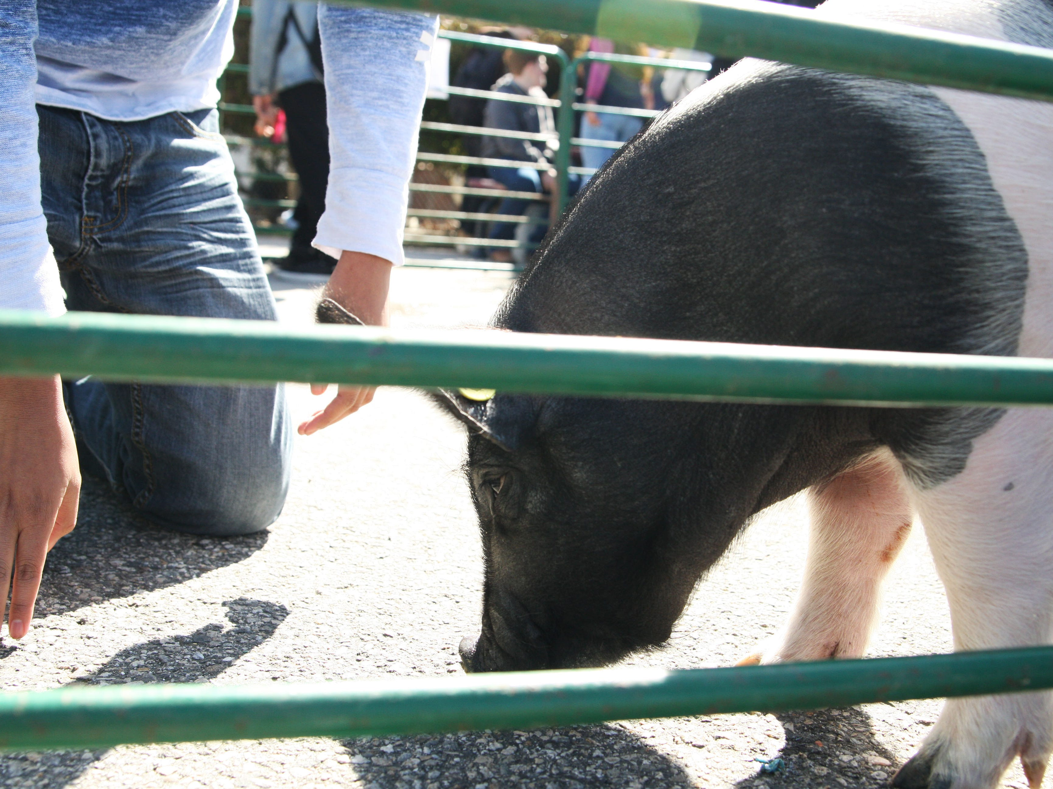 One of the students attempts to hang out near a pig.