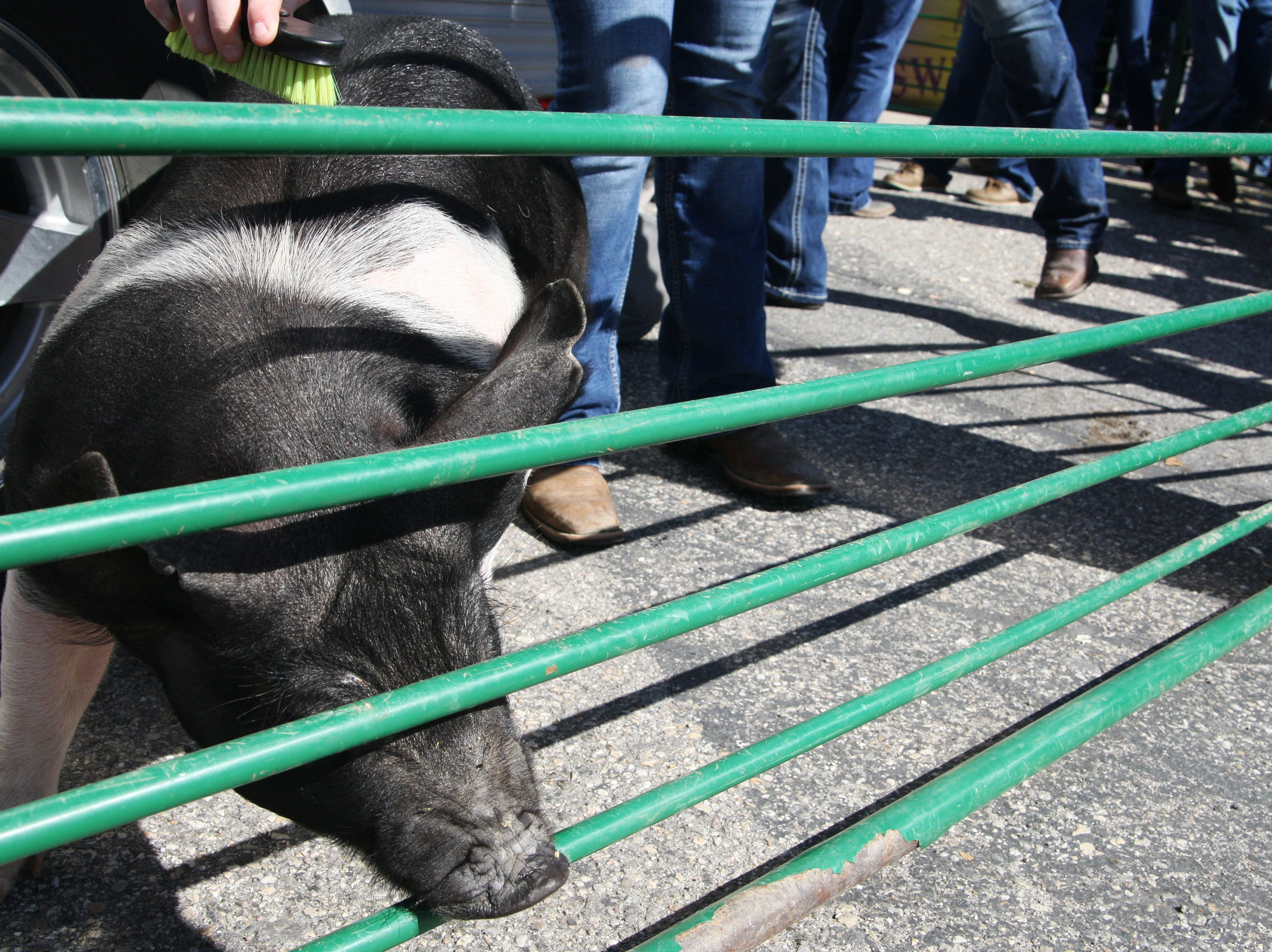 One of the pigs gets brushed as she tries to make a break for it.