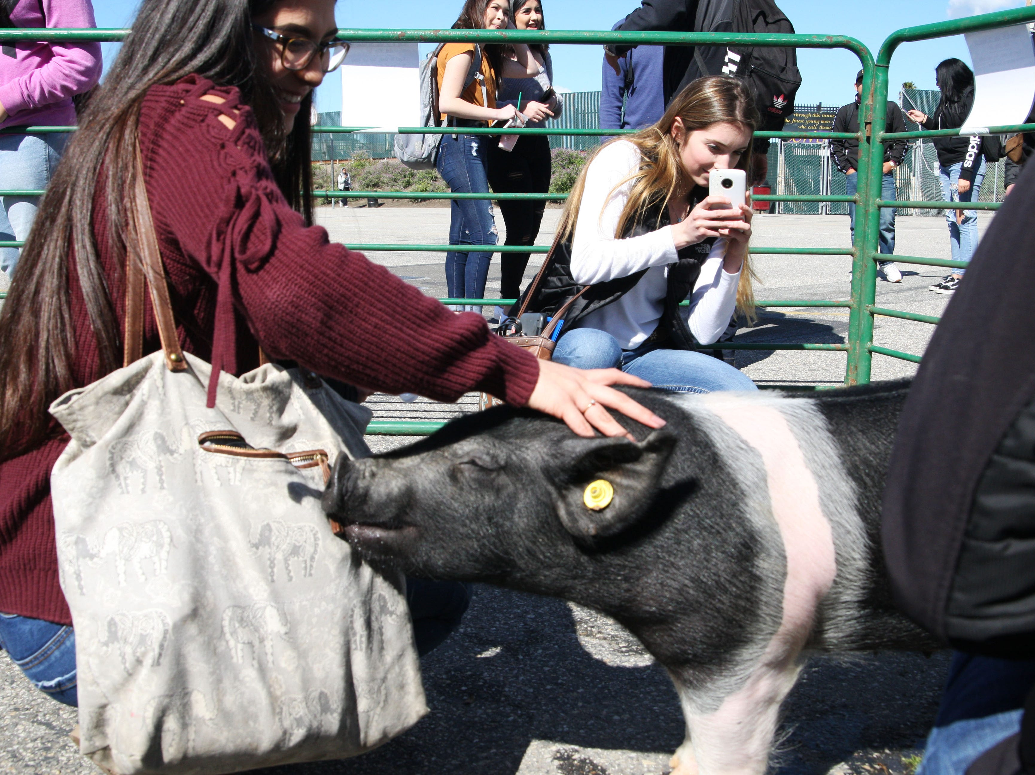 Zola the pig noses at a students bag as her friend records the encounter.