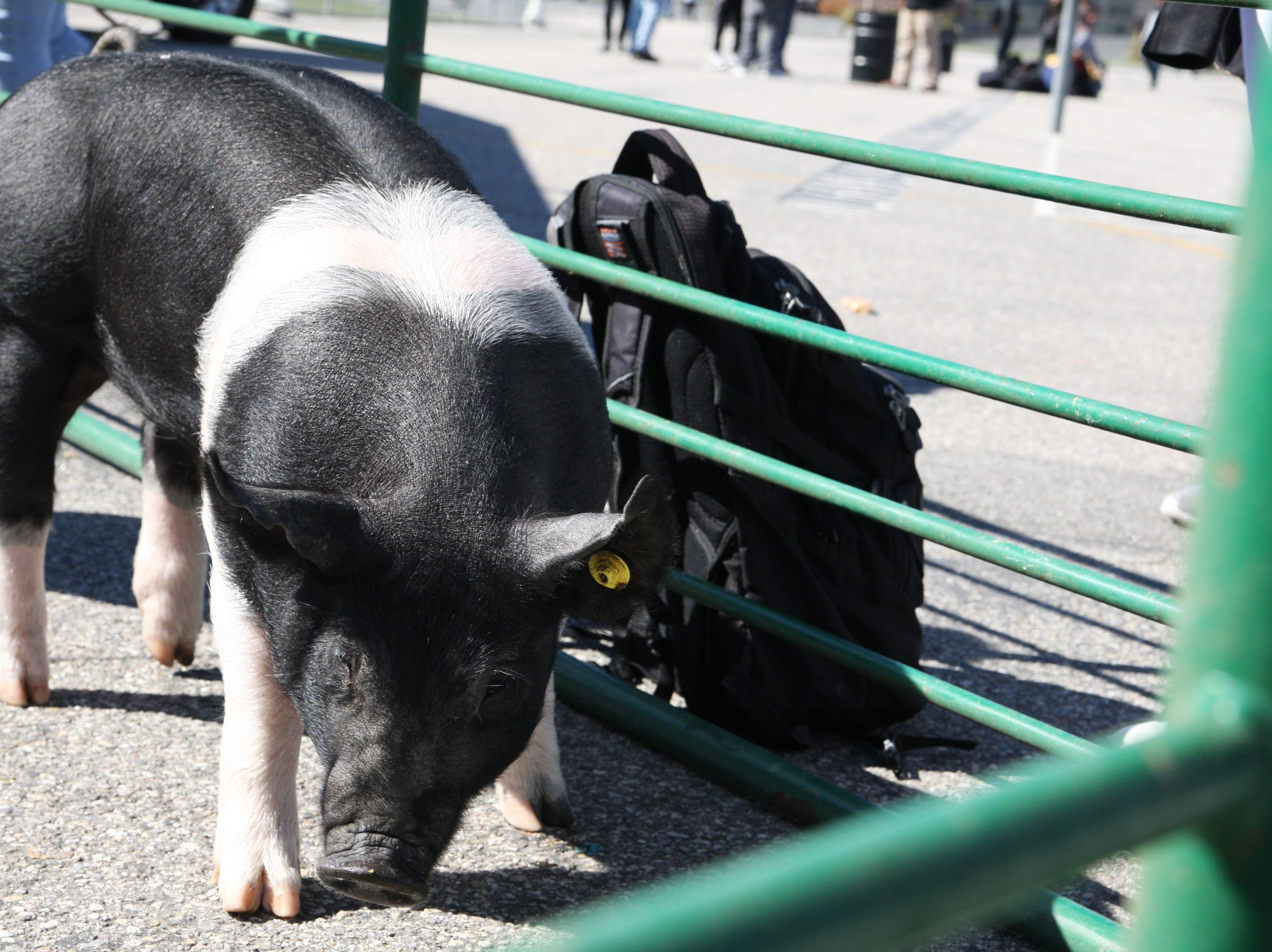 Zola the pig rubs up against the bars of the petting zoo.