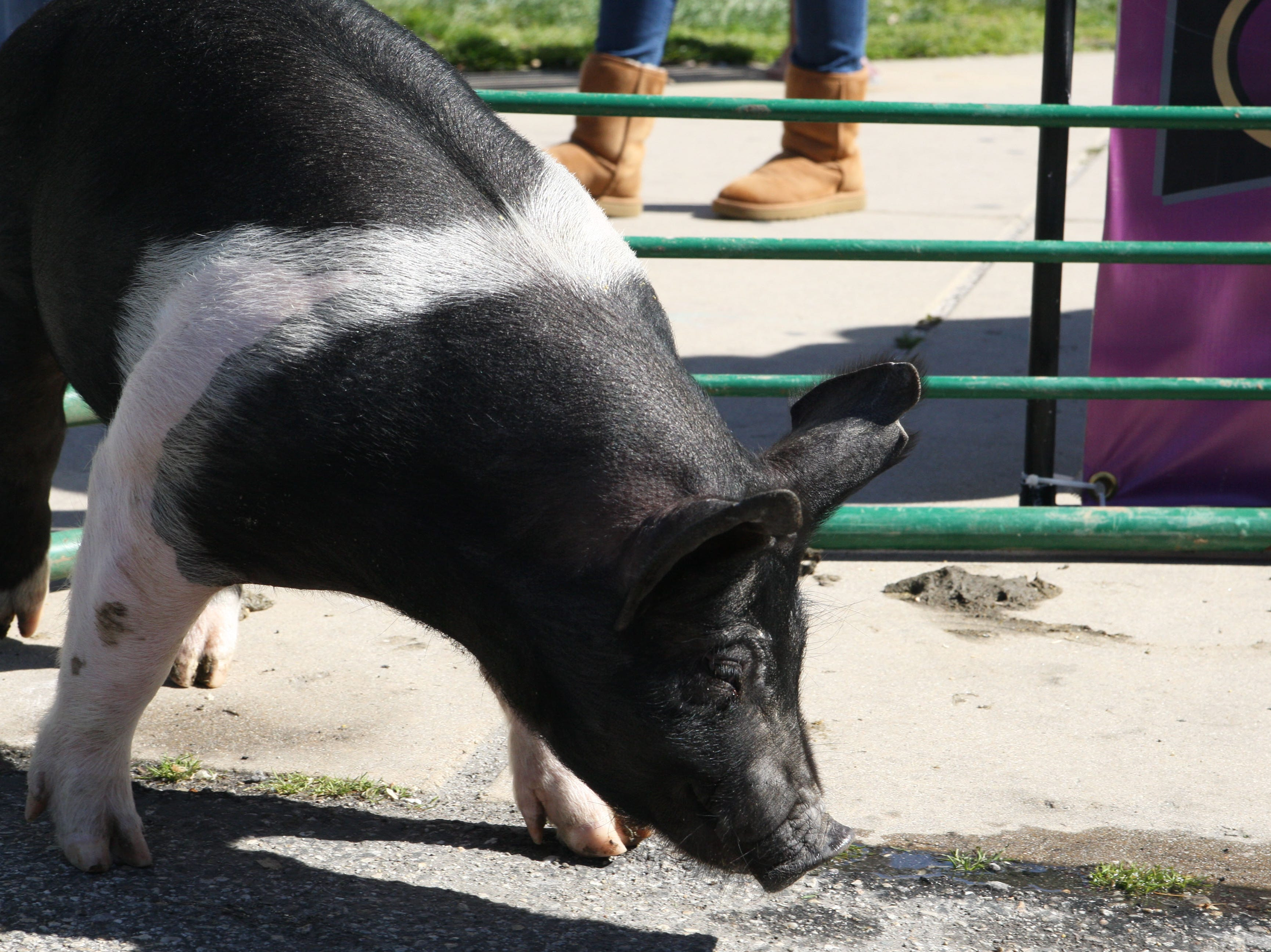 Otis the pig noses the cement.