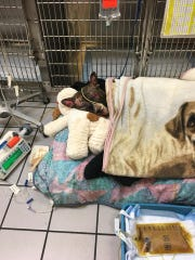 ommie the pit bull was rescued after he was set on fire while tied to a pole. Police are searching for the person responsible.