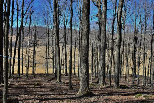 Maple trees at the Puffenbarger Sugar Camp in Blue Grass, Virginia outside of Monterey.