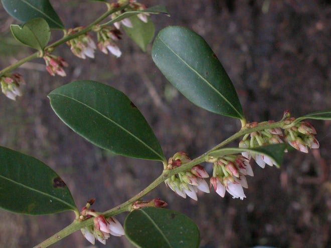 The fetterbush has  a thin but distinctive vein just inside the margin, which runs the length of the leaf.both sides.