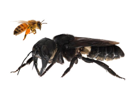 The world's largest bee -- roughly the size of a human thumb -- has been rediscovered in a remote part of Indonesia in its first sighting in nearly 40 years, researchers said on February 21, 2019. (AFP PHOTO / GLOBAL WILDLIFE CONSERVATION / CLAY BOLT)