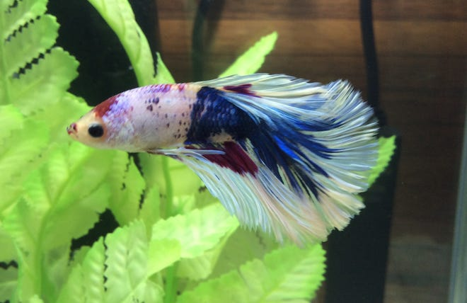 Frost is a delta-tail betta who lives in the Gobles' kitchen.